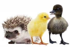 ducks.porkypine